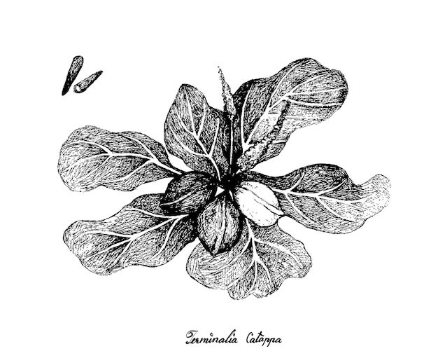 Hand drawn of terminalia catappa fruits on white background