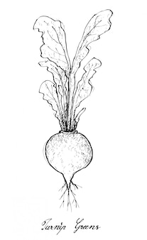 Hand drawn of turnip greens on white background