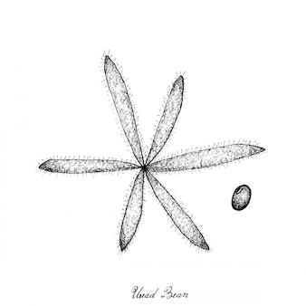 Hand drawn of uread bean pods