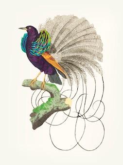Hand drawn vaillantian paradise bird