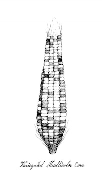 Hand drawn of variegated maize or multicolor corn