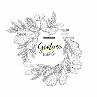 Hand drawn vector ginger root and leaves.