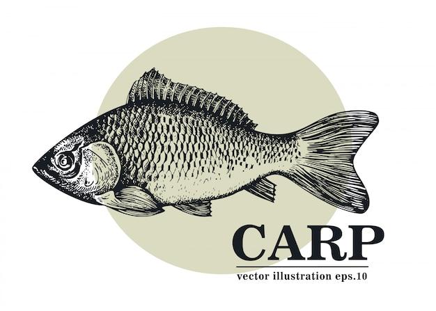 Нарисованная рукой иллюстрация вектора рыб карпа.