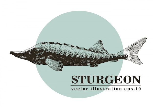 Hand drawn vector illustration of sturgeon fish.
