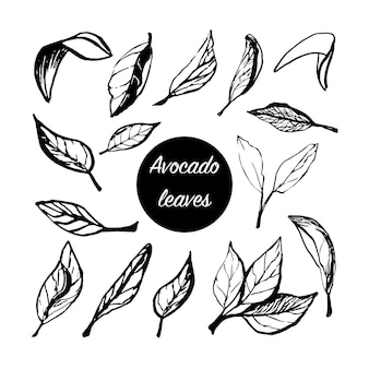 Hand drawn vector leaves of avocado set tropical illustration food concept