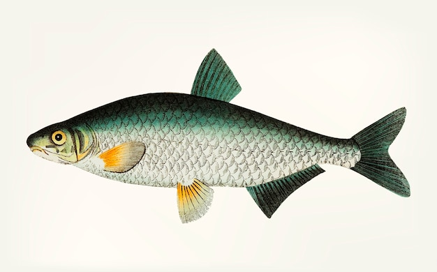 Hand drawn of vimba carp