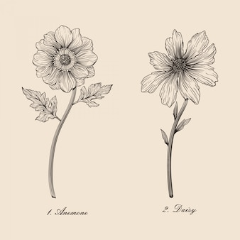 Hand drawn vintage beautiful botanical flower anemone and daisy vector illustration set