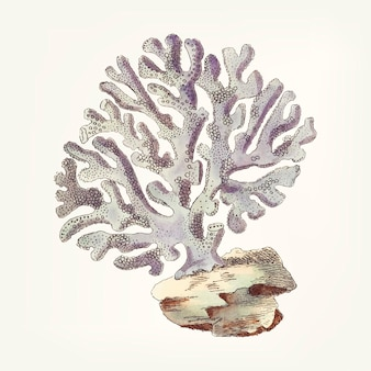 Hand drawn of violaceous millipore coral