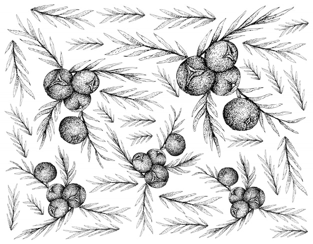 Hand drawn wallpaper of juniper berries on white background