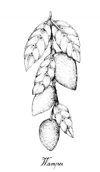Hand drawn of wampee or clausena lansium fruits