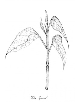 Hand drawn of water spinach on white background