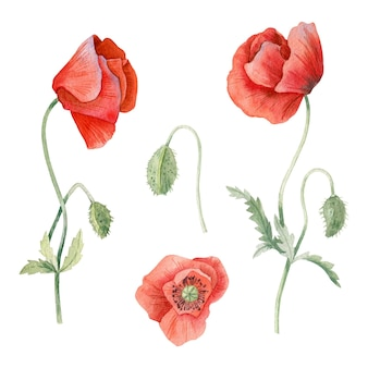 Hand drawn watercolor poppy collection