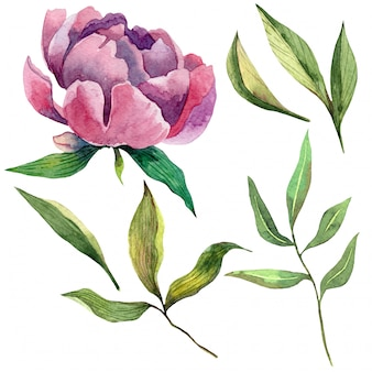 Hand drawn watercolor set of purple peony and green leaves