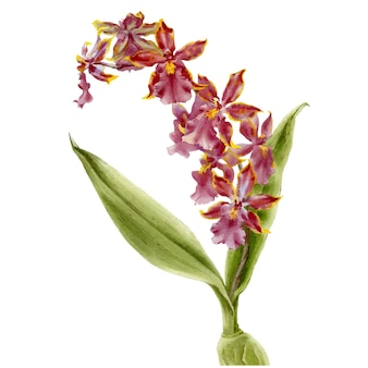 Hand drawn watercolor vector of bordo orchid cattleya flower