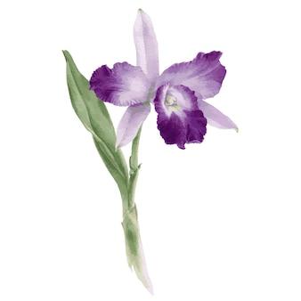 蘭のカトレアの花の手描き水彩ベクトル