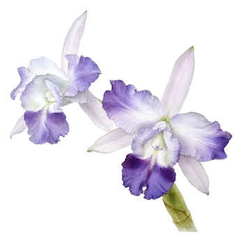 Hand drawn watercolor vector of orchid cattleya flower