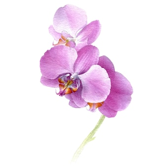 Hand drawn watercolor vector of pink orchid phalaenopsis flower
