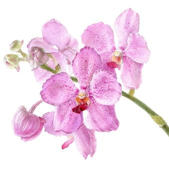 Hand drawn watercolor vector of pink orchid vanda flower.