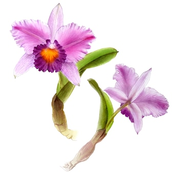 Hand drawn watercolor vector of purple orchid cattleya flower