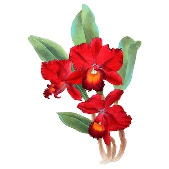 Hand drawn watercolor vector of red orchid cattleya flower