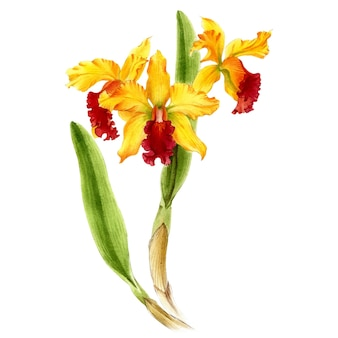 Hand drawn watercolor vector of yellow orchid cattleya flower