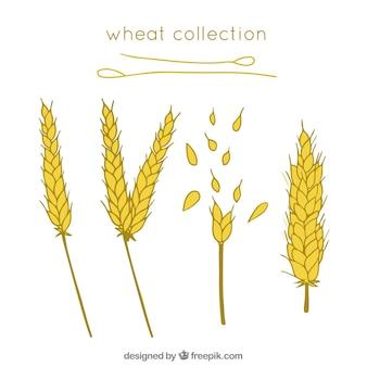 Сбор рисованной пшеницы Бесплатные векторы