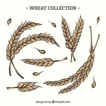 Hand drawn wheat collection
