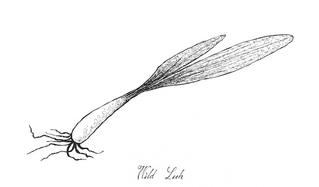 Hand drawn of wild leek on white background