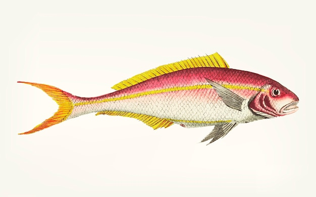 Hand drawn of yellow-striped sparus