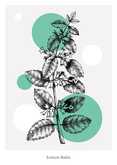 Hand-sketched lemon balm with flowers and leaves illustration