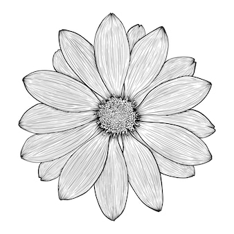Handdrawn flower of chamomile gerbera daisy or chrysanthemum