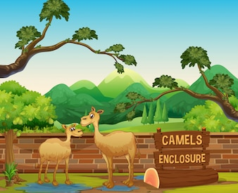 Happy Camels in Open Zoo