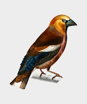 Hawfinch (gros-bec commun) illustrated by charles dessalines d'orbigny (1806-1876).