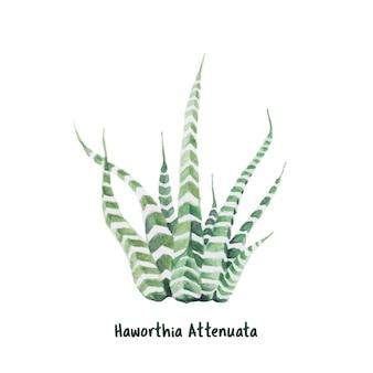 手描きhaworthia attenuataゼブラ植物