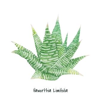 手描きhaworthia limifoliaの妖精の洗面台