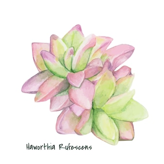 手を引くhaworthia rufescens succulent