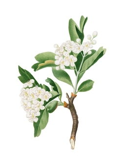 Hawthorn flower from pomona italiana illustration