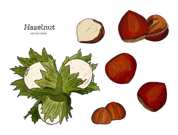 Hazelnut nut seed vector.