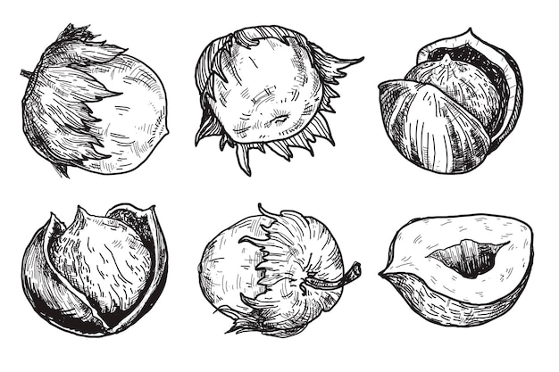 Hazelnuts are in engraving style vintage hand drawn ilustrations