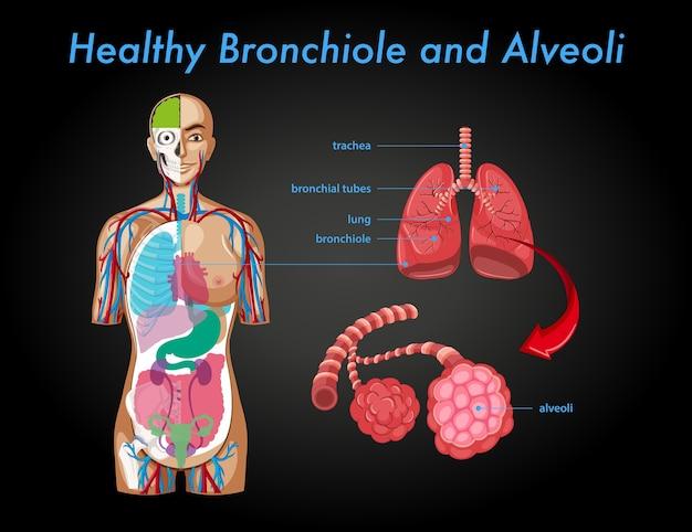 Healthy bronchiole and alveoli