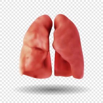 투명 한 배경에 고립 된 건강 한 인간의 폐입니다. 인간의 호흡기. 현실적인 그림.
