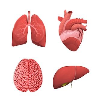 健康な人間の臓器のヘルスケアの現実的なイラスト。