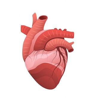 심장 해부학 상세한 모델 그림. 인간의 내부 근육 기관 절연 클립 아트. 의학 및 생물학 교육. 심장학 공부. 혈액 정맥 및 대동맥 흰색 배경에 그리기