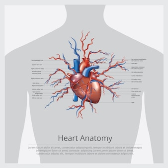 Heart anatomy  illustration