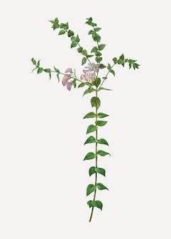 Heart-leaved polygala branch