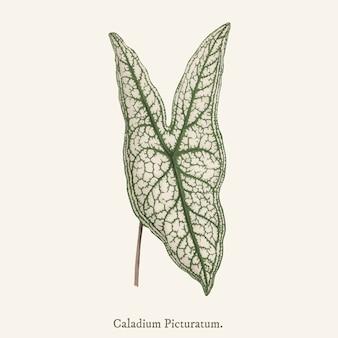 Сердце иисуса (caladium picturatum)