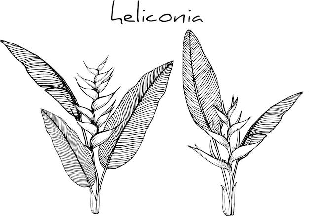 Рисунки хеликонии