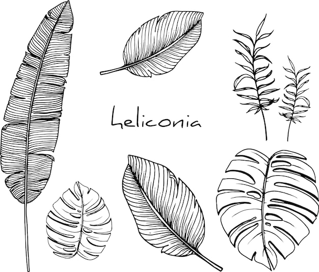 Heliconia drawings