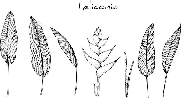ヘリコニアの花の描画