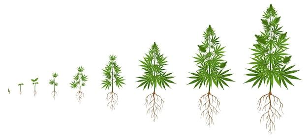 麻の植物の成長サイクル。